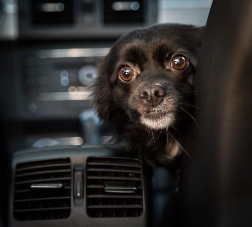 Tikka Vandoggo Vancouver Dog car ride