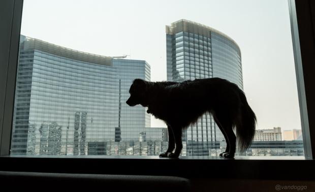 Tikka in Las Vegas Vandoggo