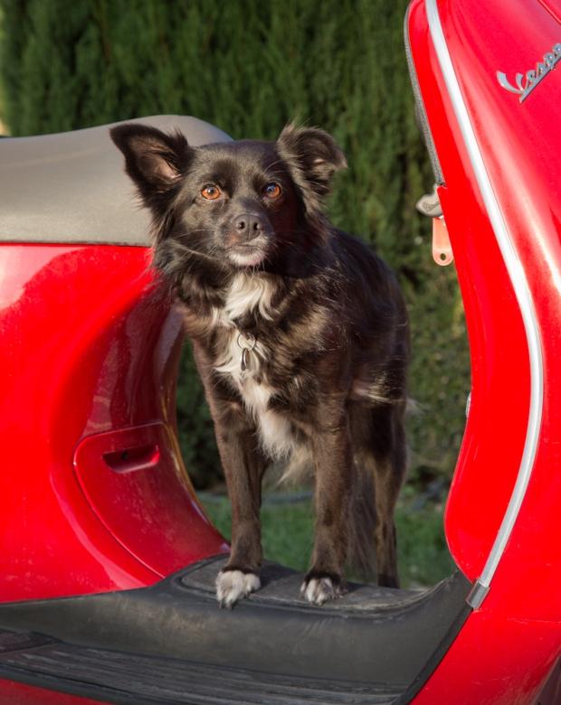 VanDoggo Tikka Dog Vespa-8.JPG