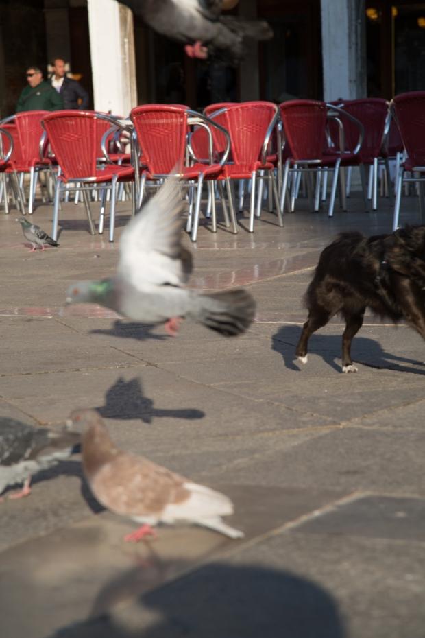 Tikka leaving pigeons.JPG